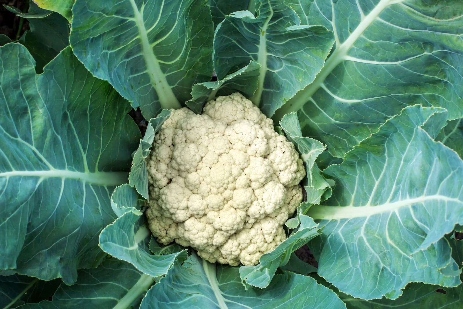 The Mighty Cauliflower Is Not Just Hype